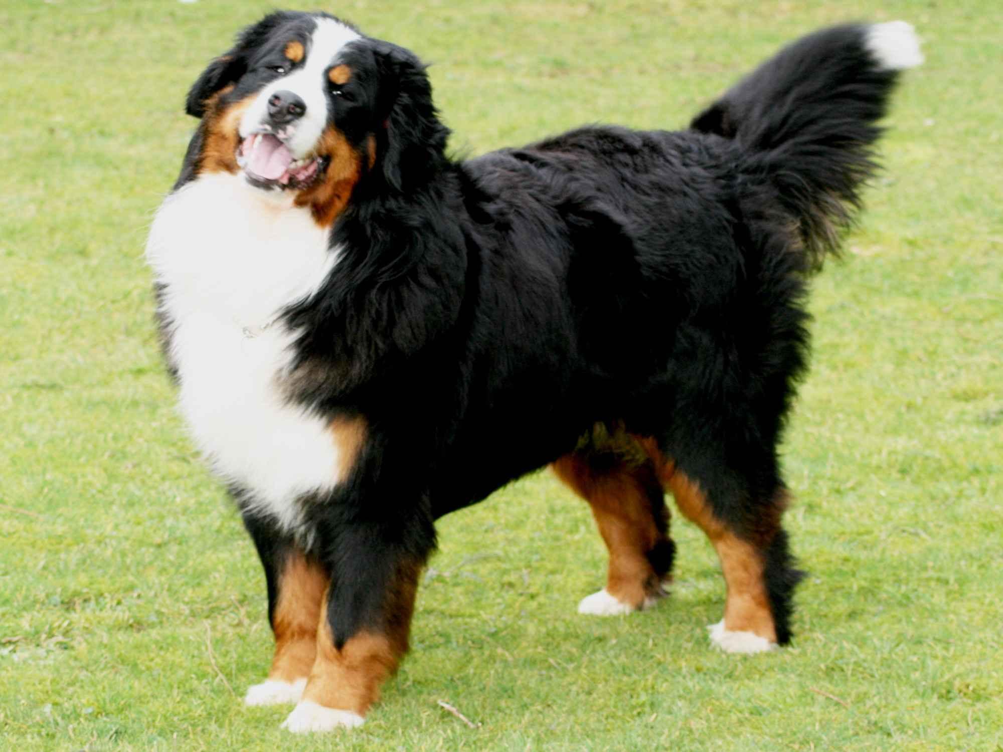 пастушьи собаки фото породы