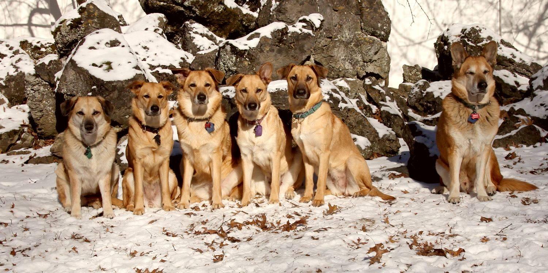 характеристики собаки породы чинук